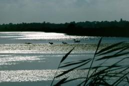 SWANS AT FELIXSTOWE FERRY
