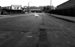WHY DID THE SWAN CROSS THE (WEST END) ROAD